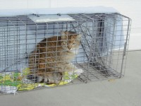 Residents can trap cats and bring them in for free sterilization, using a humane trap available for rent from the City.