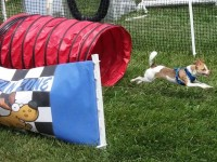 "File photo, a dog races through a ""doggie fun zone"" obstacle course during Pet-a-Palooza 2014 at Rusch Park. // CH Sentinel"