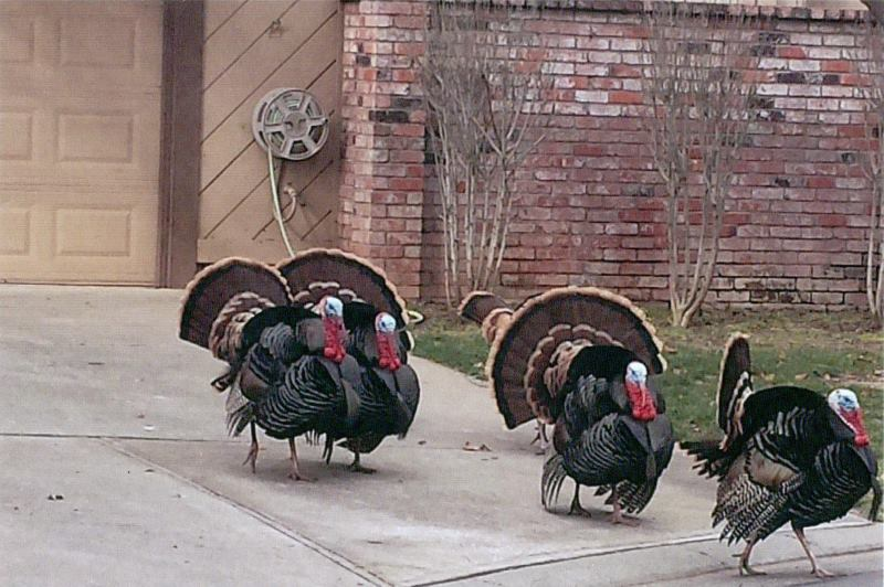 Wild turkeys, SOAR, neighborhood association