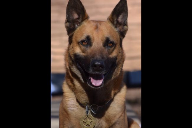 Bruno, a former Citrus Heights police dog, died on Tuesday. // Image courtesy, CHPD