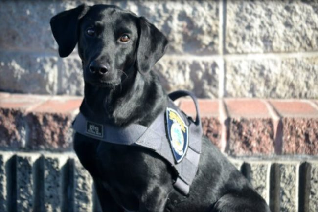 The Citrus Heights Police Department introduced its new K-9, Farley, this week. // Image courtesy, CHPD