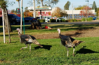 Wild turkeys, Citrus Heights. Photo credit: Luke Otterstad